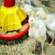 اهمیت رشد دستگاه گوارش مرغ ها در هفته های اولیه زندگی