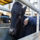 اهمیت کنترل بیماری سل در گاو