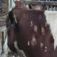 مقایسه عملی آزمایش گاماانترفرون و تست توبرکولین جلدی در تشخیص سل گاوی