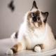 گربه نژاد بیرمن (Birman)