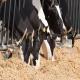 تأثیر ماده خشک جیره و تولید شیر بر موازنه انرژی