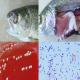 مروری بر بیماری لاکتوکوکوزیس ماهی در ایران و جهان