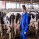 آزمایش پروفایل متابولیک در گاوهای شیری