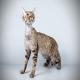 گربه نژاد دون رکس (Devon Rex)