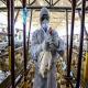 شیوه های اجرایی حذف گله آلوده به آنفلوانزای فوق حاد پرندگان