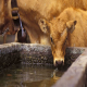 اهمیت آب تازه و پاک در سلامت گوساله