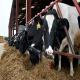 تغذیه گاوهای خشک