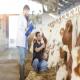 تغذیه و مدیریت گاو خشک