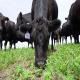 یونجه (Alfalfa) در تغذیه دام و طیور
