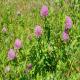 شبدر قرمز (Trifolium pratense) در خوراک دام
