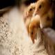 مازاد کارخانجات دانه خردکنی و آردسازی در خوراک