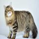 گربه سیبریایی (Siberian cat)
