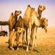 لزوم توسعه شتر و پرورش در مناطق بیابانی و کویری ایران