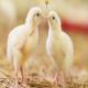 فرانسه کشتار جوجه های نر را ممنوع کرد