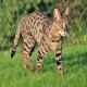 گربه نژاد ساوانا (Savannah cat)