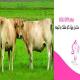 مکمل ویژه گاو خشک و تلیسه