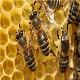 سموم شیمیایی دلیل تلفات گسترده زنبورهای عسل در ایران