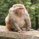 تب نگهداری «رزوس» به عنوان حیوان خانگی