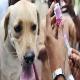 ۲۰۰قلاده سگ در منطقه کوهستانی درکه واکسینه شدند
