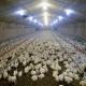 تأثیر دمای هوا روی مرغ گوشتی