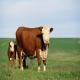 اثرات گرما و رطوبت بالا بر تولیدمثل گاو