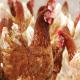 بافت دان و رابطه آن با عملکرد طیور گوشتی