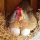 تغذیه؛ عامل بازدارندۀ کانیبالیسم در مرغ های تخمگذار