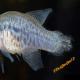 عفونت های استرپتوکوکال در ماهی