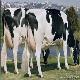 اثر طول دوره ی روشنایی روزانه و هورمون رشد (تروپست) بر تولید شیر در گاوها