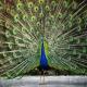 طاووس (سرده)
