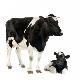ناباروری گاوها