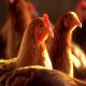 اثرات دمای بالا  بر سیستم ایمنی و شاخص های تعیین آن در جوجه های گوشتی