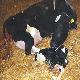 ده توصیه کارآمد برای موفقیت در پرورش گوساله
