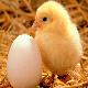 تولید، نگهداری و بهداشت تخمهای جوجهکشی