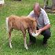 بزرگ کردن کره اسب بدون مادر