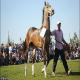 سرنوشت مبهم یکی از اصیل ترین اسب های ایرانی/ اسب کرد ناجی می خواهد
