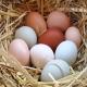 دلایل توقف تولید تخم مرغ در مرغ های تخم گذار