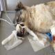 فردی در کرمانشاه هزینه های جراحی یک سگ ولگرد را پرداخت کرد