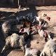 حمله گرگ ها به روستایی در پلدختر