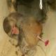 زندهگیری یک قلاده میمون رزوس در مازندران