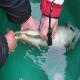 استخراج خاویار بدون مرگ ماهی توسط محققان آلمانی
