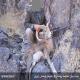 شکارچیان یک قوچ و یک کل وحشی در بردسیر کرمان دستگیر شدند+ تصاویر