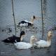 پرورش اردک های شالیزاری در فریدون کنار