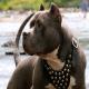 پرورش و فروش آزادانه یک نژاد وحشی سگ در ایران