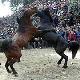 جشنواره کتک کاری اسب ها +تصاویر