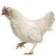 احتمال کاهش قیمت مرغ در روزهای آینده
