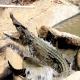 تکثیر و پرورش کروکودیل و تمساح