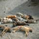 سگ کشی گسترده در تبریز!