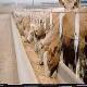 بررسی و جلوگیری از اسیدوز شکمبه ای نیمهحاد در گله های گاو شیری