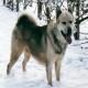 آشنایی با سگ نژاد گرینلند داگ (Greenland Dog)